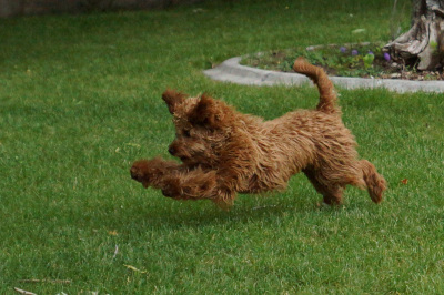 Goldendoodles for Sale | Montana Goldendoodles - Call Now!